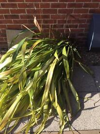 Large and small Cordyline Plants