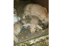 baby rabbits ready sold only guineas left