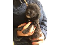 *POODLE X JACK RUSSELL PUPPIES*