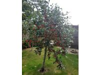 Crab apples, free to collect.