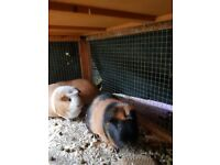 Guinea Pigs for sale - 3 years old. Lovely and Tame
