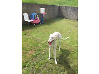 White greyhound puppy 9 months old with chip and all vaccines up to date for sale