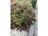 2 large bushes - gone pending collection