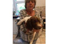 Puppy for sale springer boy