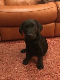 Labrador pup for sale
