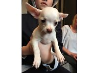Tea cup chihuahua puppies