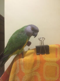 Senegal parrot 'Pippin' (shiny green; grey head; yellow bib) - about 15cm (6in) head to tail