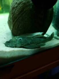 Small tank cleaning pleco