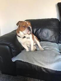British bulldog Kc registered