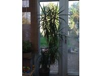 Tall Dracaena house plant