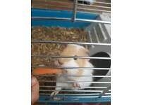 Two female Guinea Pig and large cage