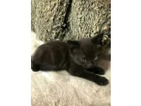 Selkirk Rex Cross Kittens ** SOLD pending collection **