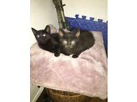 2 Kittens For Sale £40 Each