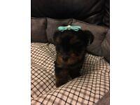 1 gorgeous boy Yorkshire terrier