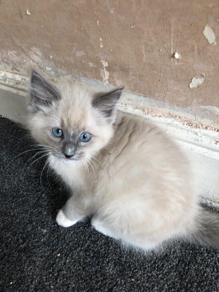 Ragdoll Kittens For Sale In Bradford West Yorkshire Gumtree