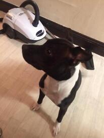Female staffy need rehoming due to allergy