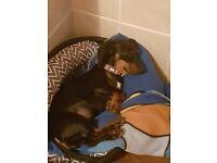 Daschund puppy 6mths female