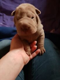 4 shar pei all sold
