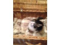 He has found his forever loving home Last Stunning Dinky Fluffy Kitten FREE KITTEN STARTER PACK
