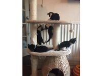 Kittens For Sale. Black & White. Boys & Girls