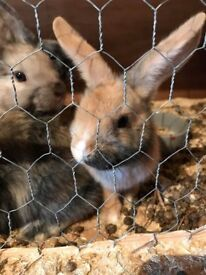 *ONLY 2 LEFT* Bunnies for sale