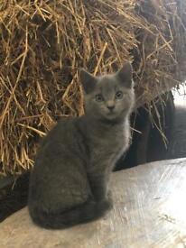Blue Male Kitten for Sale