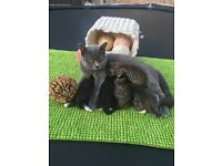 Half British shorthair kittens ,tabby and black