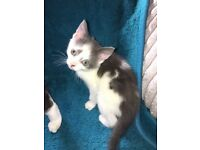 6 Beautiful Kittens for sale absolutely beautiful and rare colours