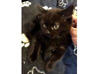 Fluffy Jet black Panther eyes kitten