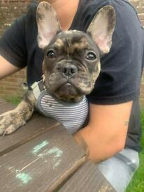 French bulldog puppy ready to leave