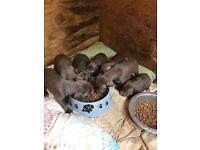 Weimaraner. X German short haired pointer puppies 8 weeks old