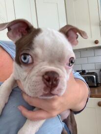 Beautiful pie Boston terrier available kc registered