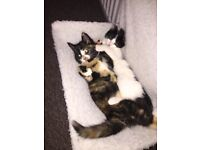 Beautiful markings, 3month old female kitten
