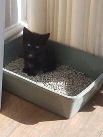 5 kittens for sale