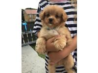 Pomeranian/toy poodleREADY NOW last 2 reduced