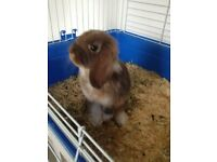 doe mini lop rabbit