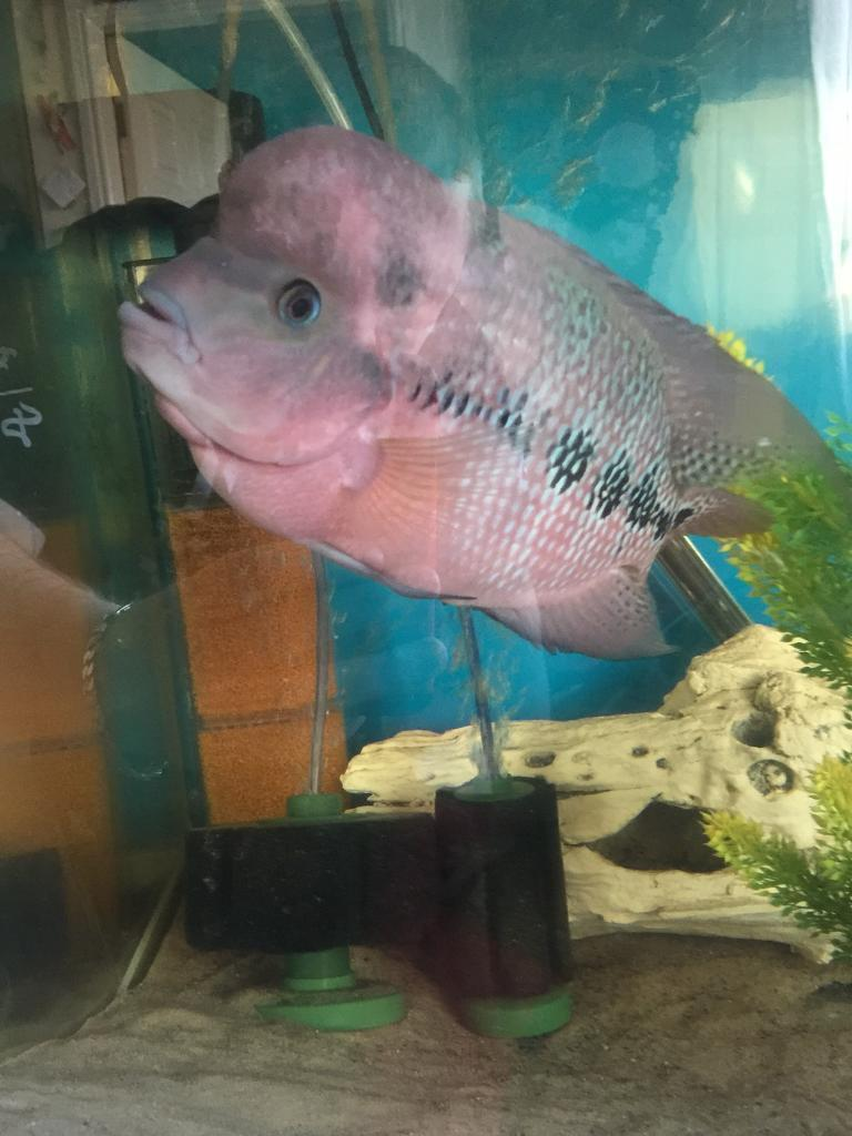 Flowerhorn for sale 8-9 inch | in Southport, Merseyside | Gumtree