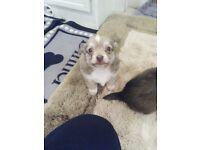 Jack cross Pomeranian puppy