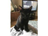 1 Male Black Kitten