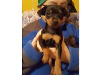 Miniature Pinscher puppies for sale 3 girls and 1 boy 6 weeks old