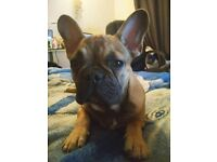 French Bulldog male puppies - KC reg! LOW PRICE!