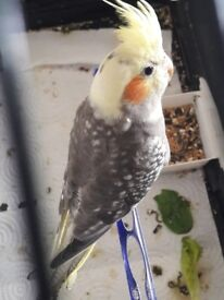 Pearl pied Baby cockateil for sale