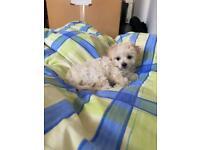 Maltipom female for sale (Maltese/Pomeranian)