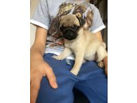 Adorable Pug puppy for sale