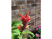 Beautiful Canna lilies for sale