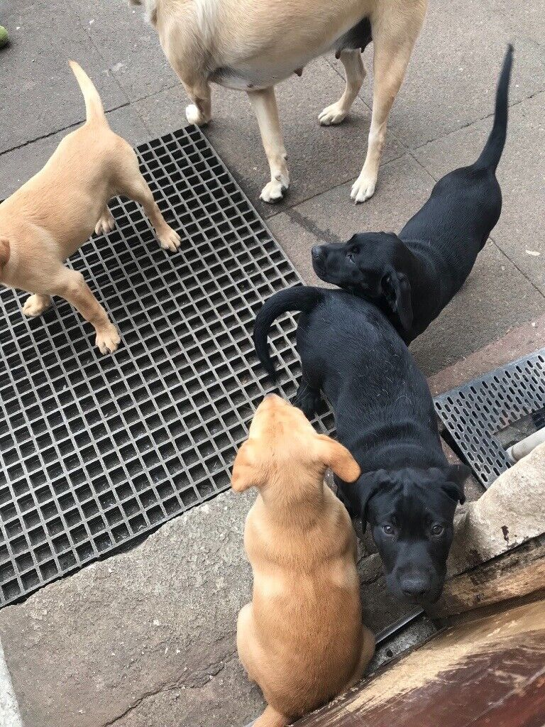 2 Female Labrador Puppies for sale | in Camborne, Cornwall | Gumtree