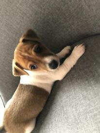 Two beautiful jack Russell puppy's 1x boy 1x girl