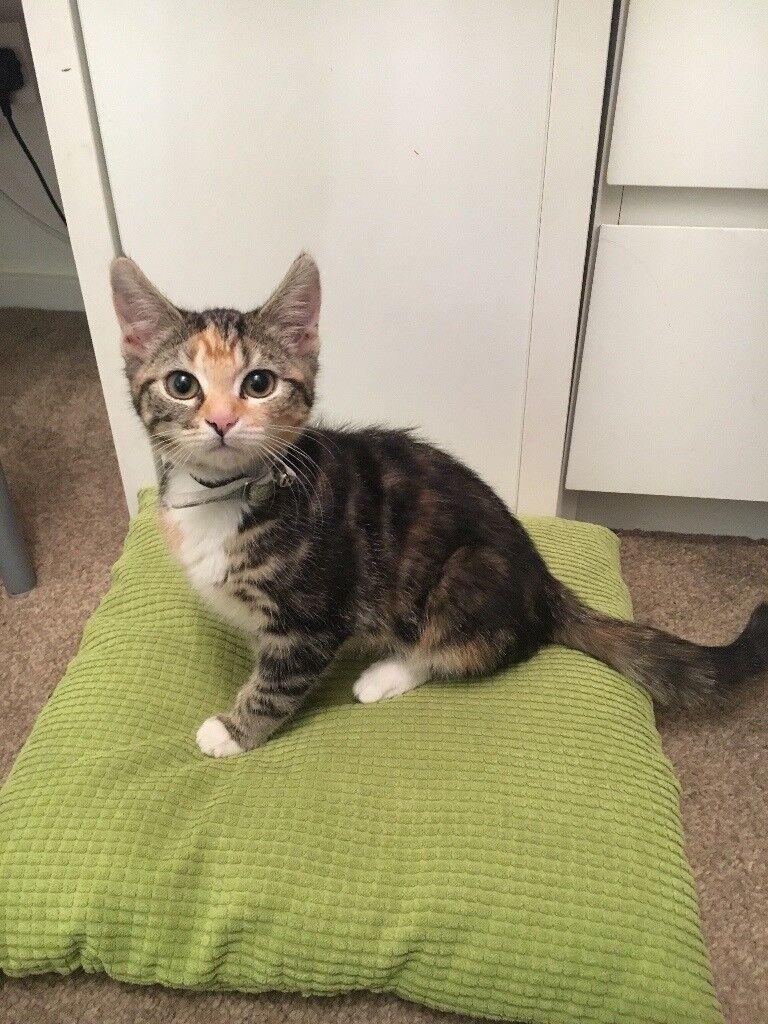 Baby tabby kitten