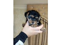 Yorkshire terrier female pup