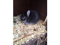 Netherl dwarf baby rabbits